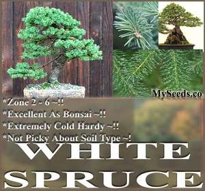 30 White Spruce Tree Picea glauca Seeds ~ EXCELLENT BONSAI SPECIMEN